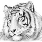 PKB Tiger Blank - Big Cat Series - Fits Cierra / Sierra Pen Kits Etc.
